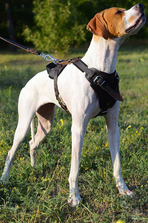 Multifunctional Leather English Pointer Harness for Everyday Usage
