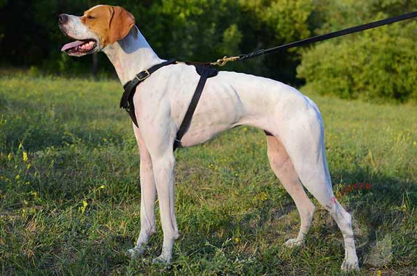 Tracking leather English Pointer harness  for free moving