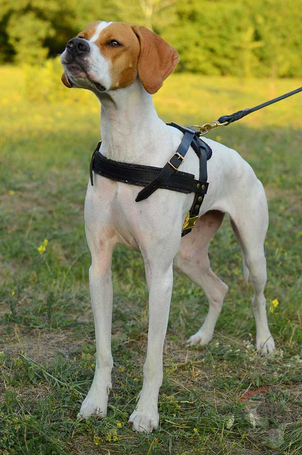 English Pointer reliable pulling leather harness