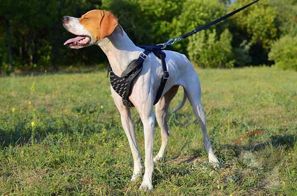 Decorated Leather English Pointer Harness for Walking