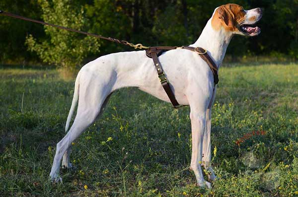 Realiable English Pointer leather harness for obedience training