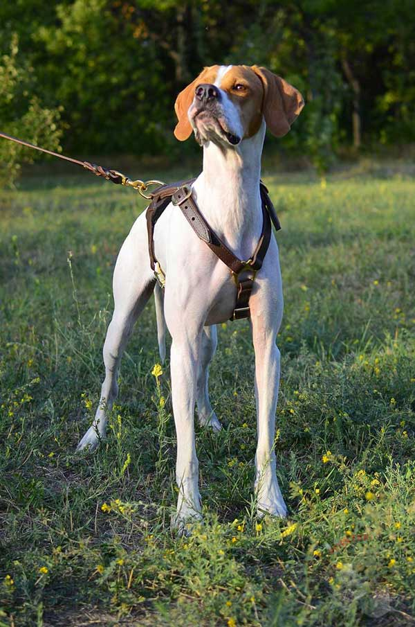 Non-restrictive leather harness for English Pointer